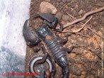 O Escorpião Imperador Negro, também conhecido como o Escorpião Imperador Africano, provavelmente seja o escorpião mais  mantido em cativeiro. O Escorpião Imperador é originário da África Ocidental. Normalmente pode ser encontrado nas florestas úmidas. </br></br> Palavra-chaves: escorpião, <em>Pandinus imperator</em>, artrópodes, aracnídeos, biodiversidade.