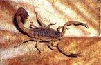 Os escorpiões de importância médica pertencem ao gênero Tityus e são: <em>T.serrulatus, T.trivittatus, T.bahiensis</em> e <em>T.stigmurus</em>. Registra-se grande dispersão do <em>T.serrulatus</em> devida reprodução por partenogênese. São animais carnívoros, alimentam-se principalmente de insetos, como baratas e grilos. Com hábitos noturnos, durante o dia estão sob pedras, troncos, entulhos, telhas, tijolos.Os escorpiões são pouco agressivos e têm hábitos noturnos. Encontram-se em pilhas de madeira, cercas, sob pedras e nas residências. </br></br> Palavra-chaves: escorpião, <em>Tityus bahiensis</em>, artrópodes, aracnídeos, biodiversidade.