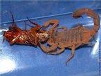 Os escorpiões de importância médica pertencem ao gênero Tityus e são: <em>T.serrulatus, T.trivittatus, T.bahiensis e T.stigmurus</em>. Registra-se grande dispersão do <em>T.serrulatus</em> devida reprodução por partenogênese. São animais carnívoros, alimentam-se principalmente de insetos, como baratas e grilos. Com hábitos noturnos, durante o dia estão sob pedras, troncos, entulhos, telhas, tijolos.Os escorpiões são pouco agressivos e têm hábitos noturnos. Encontram-se em pilhas de madeira, cercas, sob pedras e nas residências. </br></br> Palavra-chaves: escorpião, <em>Tityus bahiensis</em>, artrópodes, aracnídeos, biodiversidade.