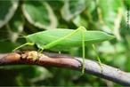 Grilos arborícolas, normalmente verdes com asas largas e transparentes, frequentam árvores e arbustos. </br></br> Palavra-chaves: esperança, grilo verde, arborícolas, habitat, biodiversidade, zoologia.
