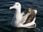 Também conhecido como: albatroz gigante, albatroz errante ou gaivotão. Para os anglo-saxónicos, o seu nome é wandering albatross. Este albatroz é a maior ave voadora da atualidade, o seu comprimento atinge 1,30 e a sua envergadura mais de 3,30 o que é verdadeiramente impressionante, o peso dos machos atinge correntemente os 11 kg e o das fêmeas 8,5 kg. Como grande ave que é, tem uma longa esperança de vida, calculando-se que a média ronde os 50 anos. Esta espécie habita em todo o Hemisfério Sul, desde os gelos antárticos até a uma zona que pode ser considerada referência, que é o Trópico de Capricórnio. </br></br> Palavra-chaves: albatroz viageiro, albatroz gigante, albatroz errante, gaivotão, aves, habitat.