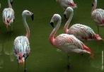 O flamingo é uma ave pernalta e corpulenta de bico poderoso e beleza inconfundível, que pode ser observada em vários locais do território do Centro e Sul de Portugal. Pode ainda ser encontrado em todos os países do Sul da Europa e do Norte de África, bem com em alguns territórios mais a Oriente. Para poder observar estes animais, nunca deve aproximar-se muito, já que ao mínimo ruído começarão a correr, para ganhar velocidade, voando depois para zonas onde se sintam seguras. Os flamingos são aves migradoras, voam até ao norte de África, quando os dias arrefecem no sul da Europa, para voltarem na primavera seguinte. O flamingo alimenta-se de pequenos crustáceos, peixes e bivalves, razão pela qual procura as zonas onde a água tem pouca profundidade e as zonas de lama ou sapais. </br></br> Palavra-chaves: flamingo, aves, habitat, biodiversidade.