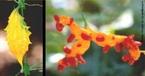 A flor é a parte das plantas classificadas como angiospérmicas em que se encontram os seus órgãos sexuais. A imagem mostra a flor do fruto do melão </br></br> Palavra-chaves: flor, fruto, melão, planta, biodiversidade, botânica.