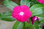 Flor pentâmera: partes florais em número de cinco ou múltiplo. </br></br> Palavra-chaves: flor, pentâmera, plantas, botânica, biodiversidade.