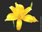 Caracteriza-se por apresentar três pétalas ou múltiplas de três. </br></br> Palavra-chaves: flor trimera, pétalas, botânica, biodiversidade.