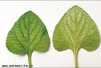 Possui forma de coração, haste na fenda. </br></br> Palavra-chaves: folha cordiforme, planta, botânica, biodiversidade.