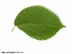 São folhas simples, partidas em 5 ou 7 lóbulos de bordos denteados. </br></br> Palavra-chaves: folha dentada, lóbulos, botânica, biodiversidade
