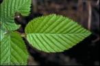 São folhas simples, partidas em 5 ou 7 lóbulos de bordos denteados. </br></br> Palavra-chaves: folha dentada, lóbulos, botânica, biodiversidade.