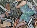 Possui forma de uma mão aberta. </br></br> Palavra-chaves: folha espalmada, botânica, biodiversidade.