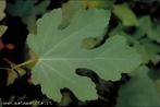 Possui margens profundamente recortadas. </br></br> Palavra-chaves: folha lobada, botânica, biodiversidade.