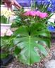 Possui margens profundamente recortadas. </br></br> Palavra-chaves: folha lobada, botânica, biodiversidade