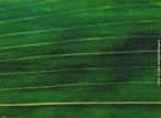 Também chamada de paralelinérvia, a qual mostra o posicionamento de suas nervuras, como exemplo a folha do milho. </br></br> Palavra-chaves: folha, nervuras paralelas, planta, botânica, biodiversidade.