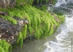 As algas são organismos autótrofos e fotossintetizantes que diferem das plantas por não formarem tecidos nem órgãos ordenados, ou seja, não apresentam uma estrutura dividida em raiz, caule e folhas. Podem ser unicelulares ou pluricelulares. As algas habitam ambientes terrestres úmidos ou meios aquáticos, de água doce ou salgada. Embora muitas vezes microscópicas, elas possuem grande importância ecológica e econômica, em vários produtos utilizados pelo homem. </br></br> Palavra-chaves: algas, ambientes aquáticos, ambientes terrestres, autótrofos, fotossintetizantes, oxigênio.