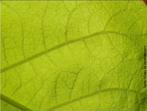 Folha com uma nervura principal de onde saem nervuras secundárias, em geral não apresentam bainha, característica de representantes do grupo das dicotiledôneas. </br></br> Palavra-chaves: folha, nervuras reticuladas, dicotiledôneas, vegetais, plantas, biodiversidade, botânica.