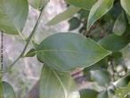 Folha simples, oval com pecíolo alado. </br></br> Palavra-chaves: folha, peciolada, planta, botânica.