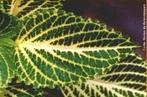 Peninérvea ou pinada possui uma única nervura central primária que dá origem a nervuras de ordem superior. </br></br> Palavra-chaves: folha, peninérvia, planta, nervura, botânica, biodiversidade.