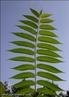 Fomato de folhas compostas por muitos folíolos. Pode ser par ou ímpar. </br></br> Palavra-chaves: folha pinulada ímpar, folículos, botânica, biodiversidade.
