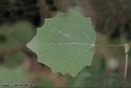 Possui forma de losango. </br></br> Palavra-chaves: folha rombóide, botânica, biodiversidade.