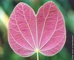 Tipo de folha simples, por não apresentar limbo dividido. </br></br> Palavra-chaves: folha simples, plaminévia, limbo, biodiversidade, botânica.