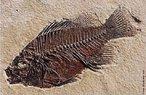 Cientistas afirmam que o registro fóssil e seu padrão de deposição evidenciam o processo de evolução da vida no planeta. Ao longo de diferentes camadas geológicas é possível observar a ordem na qual os animais foram aparecendo e se extinguindo em nosso planeta. </br></br> Palavra-chaves: fóssil, evolução, peixe, paleontologia, sedimentação.