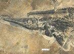 Fóssil de réptil marinho pré-histórico conhecido como ictiossauro, que lembra remotamente um golfinho. </br></br> Palavra-chaves: ictnossáuro, réptil, fóssil.