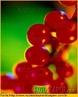 Fruto da Groselheira, de cor vermelha, utilizada para fabricar xaropes na indústria farmacêutica. </br></br> Palavra-chaves: fruto, groselha, indústria farmacêutica, botânica.