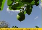 Mostra a formação do fruto do limoeiro. </br></br> Palavra-chaves: fruto, limão, limoeiro, botânica.