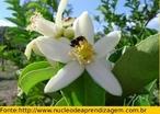 Mostra a formação do fruto do limoeiro com a ajuda de um agente polinizador - abelha. </br></br> Palavra-chaves: fruto em formação, limão, polinização, abelha, botânica, biodiversidade.