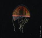 Cientistas voltam de uma expedição com amostras de animais raros e mais de dez possíveis novas espécies do fundo do Oceano Atlântico. Uma delas pode trazer pistas sobre o elo evolucionário entre invertebrados e vertebrados. Criaturas como esta medusa estão entre os seres bizarros encontrados no fundo do oceano. Sobre o assunto, acesse a notícia disponível na página de Ciências, o qual abrirá em uma nova aba/janela. </br></br> Palavra-chaves: fundo do mar, biodiversidade, invertebrados, Oceano Atlântico, medusa.