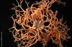 Cientistas voltam de uma expedição com amostras de animais raros e mais de dez possíveis novas espécies do fundo do Oceano Atlântico. Uma delas pode trazer pistas sobre o elo evolucionário entre invertebrados e vertebrados. Ofiúro do gênero Gorgonocephalus encontrado no fundo do Oceano Atlântico. Sobre o assunto, acesse a notícia disponível na página de Ciências, o qual abrirá em uma nova aba/janela. </br></br> Palavra-chaves: fundo do mar, biodiversidade, invertebrados, Oceano Atlântico, ofiúro.