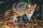 Também conhecido regionalmente por maracaja-í, gato-macambira, pintadinho e gato-do-mato pequeno. Os habitantes de áreas de mata muitas vezes os confundem com o gato maracajá. Este é o menor gato selvagem da América do Sul, com tamanho semelhante ao de um gato doméstico. Encontram-se no sul da Costa Rica ao norte da Argentina, ocupando geralmente ambientes variados, desde áreas mais abertas àquelas com vegetação densa. Assim como ocorre com os demais gatos pequenos, é um animal muito pouco estudado. Os dados existentes demonstram ser um animal solitário, de hábitos diurnos e noturnos que se alimenta de pequenos roedores, lagartos e pequenas aves. A caça para o comércio de peles e a destruição das florestas é a principal causa de ameaça. É classificada pela IUCN (União Internacional para Conservação da Natureza) como espécie vulnerável, inclusa no apêndice I do CITES e pelo IBAMA como ameaçada de extinção. </br></br> Palavra-chaves: gato do mato, mamíferos, carnívoros, felídeos, habitat, zoologia.