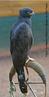 Espécie que localiza-se em todo Brasil, do Rio Grande do Sul a América Central, sendo que seu habitat são as florestas densas. Estas espécies são carnívoras, se alimentam de pequenos mamíferos como macacos e morcegos, aves como araçaris, répteis como iguanas e serpentes. Em cativeiro podem viver aproximadamente 25 anos. </br></br> Palavra-chaves: gavião-pega-macaco, aves, habitat, biodiversidade.