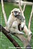 Os gibões possuem várias características anatômicas que facilitam o ágil deslocamento nas árvores mesmo com o seu peso máximo, de cerca de vinte quilos. Alimentam-se de frutos carnudos, folhas, flores, ovos e pequenas aves, insetos, aranhas e pequenos mamíferos. São diurnos e arbóreos. Deslocam-se por braquiação, utilizando apenas os braços. Raramente descem ao solo, no qual se movimentam em posição bípede. Vivem em grupos familiares de dois a 10 indivíduos, constituídos pelo casal e respectivos filhos jovens. Os pares realizam vocalizações muito sonoras, com objetivos de demarcação e defesa do território. São monogâmicos. Atingem a maturidade sexual aos sete anos nos machos e nove anos nas fêmeas. Esta espécie encontra-se ameaçada pela caça e pela destruição do habitat. </br></br> Palavra-chaves: gibão de mãos brancas, mamíferos, primatas, pongídeos.