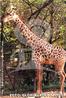 Com suas pernas compridas e pescoço alongado, a girafa é o mais alto dos animais atuais. A língua é longa e flexível que são capazes de pegar as folhas de acácias, por entre pontiagudos espinhos nos altos dos galhos, que são sua principal fonte de alimentação. Como a maioria dos mamíferos, possuem sete vértebras cervicais, que são muito alongadas. Por causa de seu pescoço comprido e rígido, seu sistema vascular possui particularidades como válvulas especiais que permitem que o fluxo sanguíneo alcance o cérebro (bastante afastado de seu coração) quando levantam a cabeça e evitam vertigens quando elas a abaixam. O tempo de vida de uma girafa é de aproximadamente 25 anos. Gostam de viver nas estepes e savanas, em amplos espaços, onde podem usar a sua maior arma, a velocidade. Para se defender só pode dar coices que, apesar de serem mortais se acertarem em alguém ou algum animal, são difíceis de aplicar enquanto corre em debandada. </br></br> Palavra-chaves: girafa, mamíferos, artiodáctilos, girafídeos.