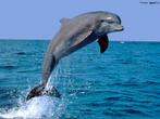 Também chamado de delfim, o golfinho é um mamífero perfeitamente adequado para viver no mar, podem mergulhar a bastante profundidade e se alimentam de peixes e sobretudo de lulas. Podem viver de 25 a 30 anos. É possível treiná-lo e executar grande variedade de tarefas, algumas até mesmo de certa complexidade. Viver em grupos e sua inteligência são traços característicos. Podem nadar a uma velocidade de 61 km/h. Eles não tem orelhas, apenas dois pequenos orifícios que ficam junto aos olhos, entretanto, sua sensibilidade auditiva é extraordinária. Eles descendem de mamíferos terrestres. Seus membros dianteiros, em forma de nadadeiras, conservam por dentro a ossadura dos mamíferos de terra, inclusive a mão de cinco dedos. Apesar de seus 80 a 100 dentes em cada maxilar, os golfinhos não mastigam, engolem tudo e o estômago faz o resto. A gestação desses animais, é de 12 meses. </br></br> Palavra-chaves: golfinhos, habitat, mamíferos, zoologia.