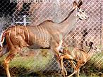 É um animal muito bem adaptável e no Zoológico de São Paulo, reproduz muito bem. Com um grande porte, seu peso pode variar de 190-135 kg em machos e 120-215kg em fêmeas. É encontrado geralmente em matas e matagais, e necessita de um abrigo para se esconder. Pode ser ativo tanto de dia como à noite. Sua audição é apurada e seu extremo estado de alerta, torna a aproximação de qualquer um difícil. Sua habilidade de saltar é maravilhosa, e se alimenta basicamente de pasto, verduras e ração (em cativeiro). As fêmeas atingem a maturidade sexual aos 14 anos e existe relato de que um grande kudu viveu quase 23 anos em cativeiro. Os chifres do grande Kudu são troféus para caçadores, as mortes se devem a sua excelente carne e por que os animais destroem plantações. Esses fatores, associados à destruição de seu habitat, têm reduzido muito o numero de grandes kudus. Atualmente é um animal classificado como dependente de conservação pela IUCN. </br></br> Palavra-chaves: grande kudu, mamíferos, artiodáctilos, bovídeos, habitat, zoologia.