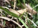 Insetos ortópteros, subordem ensifera, que constituem a família dos gryllidae ou grilídeos, que possuem, além de longas antenas filisiformes, órgãos auditivos para perceber os sons que produzem com possantes estriduladores situados nas suas asas anteriores. </br></br> Palavra-chaves: grilo, insetos, sons, biodiversidade, zoologia.