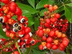 O guaranazeiro é uma planta nativa da Amazônia, produz o fruto conhecido como guaraná. É um arbusto trepador que pode atingir até 10 m de extensão. O pó de guaraná dissolvido na água torna-se um poderoso estimulante, que auxilia na realização dos trabalhos físicos mais pesados. Sementes torradas, moídas e reduzidas a pó têm propriedades estimulantes e revigorantes. </br></br> Palavra-chaves: guaraná, botânica, fitoterapia, saúde.