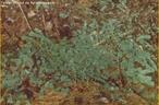 Pertencem a um grupo de briófitas, sendo plantas de corpo achatado, fixadas ao solo através de rizóides. </br></br> Palavra-chaves: hepáticas, briófitas, botânica, biodiversidade.