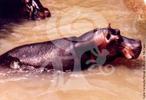 Considerado o terceiro maior mamífero terrestre, o hipopótamo macho adulto pode medir 4m e chega a pesar mais de 3 toneladas, e as fêmeas até 2 toneladas. Possui uma espessa camada de gordura que protege os órgãos vitais. Sua pele é desprovida de pelos, exceto nos lábios, orelhas e na ponta da cauda. Os dentes caninos são de crescimento contínuo e podem atingir 60 cm de comprimento e 3 kg de peso no macho e 1 kg na fêmea. Os hipopótamos têm hábitos noturnos. Sendo exclusivamente herbívoros, de noite deixam a segurança do rio para irem pastar nas margens. Antigamente, o hipopótamo era encontrado por toda a África, mas foi extinto de boa parte do norte e sul do continente, com a maioria das populações atuais subsistindo no centro africano. Marcam o território com as fezes, que são espalhadas quando defecam, pois abanam o rabo ao mesmo tempo. Estas fezes servem de fertilizante aos vegetais e alimento aos peixes dos rios e lagos que habitam, tornando-os muito ricos em vida. </br></br> Palavra-chaves: hipopótamo, mamíferos, artiodáctilos, hipopotamídeos, habitat, zoologia.