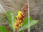 Inflorescência é a parte da planta onde se localizam as flores, caracterizada pela forma como estas aí se dispõem umas em relação às outras. Normalmente consiste em um prolongamento semelhante ao caule, ou raque, provido de folhas modificadas chamadas brácteas. Nas axilas destas brácteas localizam-se as flores. </br>  Imagem: Racemo de <em>Byrsonima tuberosa</em>, planta do cerrado brasileiro </br></br> Palavra-chaves: <em>Byrsonima tuberosa</em>, inflorescência, flores, botânica.