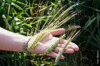 Espiga é um tipo inflorescência de flores sésseis ao longo de um raquis (eixo da inflorescência). Quando o eixo é grosso e carnoso, a inflorescência chama-se de espádice. </br> Imagem: Espigas de cevada, trigo e centeio. </br></br> Palavra-chaves: inflorescência, flores, espiga.