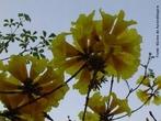 Inflorescência do tipo umbela ou guarda-chuva, caracteriza a parte onde estão localizadas as flores do ipê. </br></br> Palavra-chaves: inflorescência do ipê, flores, botânica, biodiversidade.