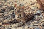 A jaguatirica é um felino de médio porte, podendo pesar entre 11.3 a 15.8 kg. O seu pêlo é denso e curto de cor amarelo claro à castanho ocráceo e é todo pintado exceto na região ventral, em que a coloração é esbranquiçada. Estas manchas negras formam rosetas e seguem até a cauda.Os machos são maiores que as fêmeas. Esta espécie é encontrada desde o sudoeste do Texas e oeste do México até o norte da Argentina. No Brasil ocorre em todas as regiões, com exceção do sul do Rio Grande do Sul.Habitam principalmente florestas tropicais e subtropicais. São animais solitários, procuram um par somente na época de acasalamento. Possuem hábitos noturnos, são bons nadadores e escaladores de árvores; e se alimentam de aves e pequenos roedores. O período de gestação é de 70 a 85 dias, nascendo de 1 a 4 filhotes que atingem a maturidade sexual aos 3 anos de idade. </br></br> Palavra-chaves: jaguatirica, felino, mamífero