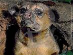 O jupará é um mamífero pouco conhecido, sendo encontrado desde a região leste do México até o estado de Mato Grosso, no Brasil. Aqui, habita a floresta amazônica, atlântica e matas de galeria no cerrado, preferindo viver na copa das árvores, entre 10 a 20 metros de altura. É parente próximo do quati e mão-pelada (todos da mesma família, Procyonidae), mas difere de ambos por possuir longa cauda preênsil, que o auxilia na locomoção como um quinto membro, orelhas curtas e língua fina e alongada, utilizada na captura de insetos, mel e néctar. Alimenta-se principalmente de frutos, mas complementam a dieta com sementes, flores, mel, pequenos besouros, larvas de inseto e folhas novas. Devido a se alimentarem de flores, são considerados bons polinizadores. Em cativeiro é oferecido frutas (banana, maçã, laranja e mamão), vegetais (batatas, cenouras e beterraba), carne bovina, além de ovos e melaço de cana. A longevidade em cativeiro chega a 30 anos. Atualmente, esta espécie não consta na Lista da Fauna Brasileira Ameaçada de Extinção, embora em algumas áreas seja caçado para consumo e por sua pele. </br></br> Palavra-chaves: jupará, mamíferos, carnívoros, procionídeos, habitat, zoologia.