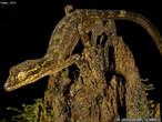 Cientistas acreditam ter fotografado novas espécies de animais durante uma expedição à província de Papua, na Indonésia. Uma delas é esta lagartixa de cabeça alongada e dedos curvados. </br></br> Palavra-chaves: lagartixa, réptil, biodiversidade.