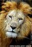 Os leões certamente são os felinos mais conhecidos e estudados de todos os grandes gatos, também o único que vive em grupos. Os leões habitam as savanas, matas abertas e planícies das Penínsulas Arábicas à região central da Índia e quase toda a África. Os leões podem correr pequenas distâncias até 50 Km/h, tendo também como ajuda os sentidos de visão, audição e olfato excelentes, que são essenciais para suas atividades que ocorrem principalmente no período crepuscular e noturno. Suas presas favoritas são: gnus, impalas, búfalos e antílopes. Um macho adulto pode consumir até 40 Kg de carne em uma refeição, depois de se alimentar ele pode descansar sobre a carcaça por dias. O declínio da população de leões é resultado da expansão da atividade humana e da criação de animais domésticos, a caça esportiva também contribui para a queda da população que não tem mais ambiente e por vezes fica restrito em parques ou áreas protegidas por lei. </br></br> Palavra-chaves: leão, mamíferos, carnívoros, felídeos, habitat, zoologia.