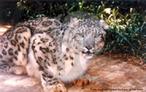 """Os leopardos das neves são distribuídos esparsamente e descontinuamente pelas montanhas da Ásia Central (conhecida como """"O telhado do Mundo""""), com uma população de tamanho desconhecido. Habitam zonas alpinas e sub-alpinas, são encontrados em áreas acima de 3000m do nível do mar. Durante o verão, podem ser encontrados em altitudes superiores a 5000m. Geralmente estão associados com ambientes áridos e semi-áridos. Estes animais são caçadores oportunistas, que podem predar desde um Yak (que pesa mais de 200kg) até um pequeno veado almiscarado (que pesa somente 10kg). Podem predar aves como o faisão ou as pequenas marmotas. Trata-se de um animal pouco estudado, devido a seus hábitos reservados, poucos exemplares, distribuição esparsa e dificuldade das condições de seu habitat. Fêmeas podem pesar até 40kg e machos até 55kg. </br></br> Palavra-chaves: leopardo das neves, mamíferos, carnívoros, felídeos."""