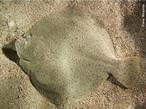Linguado é o nome vulgar de várias espécies de peixes pleuronectiformes. As características dos linguados são: o corpo oval e achatado; medem de 30 a 50 cm de comprimento, pesam de 2 a 3 kg. A sua cor é castanho-escura na parte superior e branca na inferior. Procura locais mais fundos quando a temperatura desce. Para se protegerem dos predadores, têm o corpo com manchas que imitam o fundo dos locais onde vivem (mimetismo). Apesar de a maioria das formas ser típica de água salgada, existe ainda o linguado-de-água-doce. Os linguados nascem como peixes normais, com um olho em cada lado da cabeça. Conforme crescem, aderem a condição dextrógira ou levógira, similar às pessoas canhotas e destras. Levógiros são aqueles com migração do olho para o lado esquerdo da cabeça durante o desenvolvimento e dextrógiros com migração do olho para o lado direito da cabeça. </br></br> Palavra-chaves: actinopterígeo, nadadeiras sustentadas por raios, vertebrados, peixes ósseos, linguado.