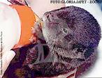 A Lontra é um animal que pertence à ordem carnívora, e que habita a região de rios e lagos. Sua distribuição geográfica ocorre do nordeste do México ao Uruguai e à província de Buenos Aires na Argentina. Alimenta-se de peixes, crustáceos, anfíbios, répteis e, ocasionalmente de aves e mamíferos. Quando está caçando tem por hábito pegar o alimento e comer na beira do rio. As lontras tem hábitos crepusculares e noturnos por esse motivo durante o dia prefere dormir entre pedras ou ocos de árvores próximo aos rios. A gestação da espécie é de 60 dias com o nascimento de 1 a 6 filhotes. A fêmea dá cria a seus filhotes na terra ou em pedras. Os filhotes chegam a pesar de 120 a 160 g e desmamam com 6 meses de idade. Atingem a maturidade sexual com 2 anos, a longevidade em cativeiro chega a 25 anos. A lontra está na lista do Cites apêndice 1 e isto significa que pertence a lista dos animais ameaçados de extinção. A espécie é caçada pelo valor de sua pele que é utilizada para confecção de casacos ou para guarnecerem vestidos ou chapéus. </br></br> Palavra-chaves: lontra, habitat, mamíferos, carnívoros, mustalídeos, extinção, zoologia